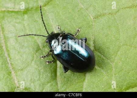 Flea Beetle (Altica SP.) auf einem Blatt Knoblauchsrauke. - Stockfoto
