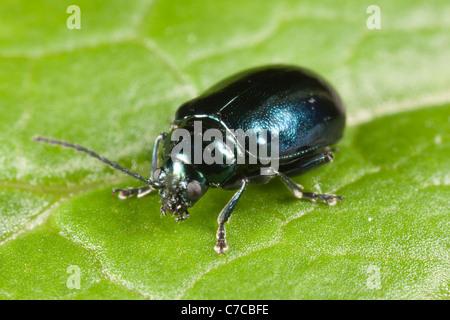Flea Beetle (Altica SP.) auf einem Blatt Knoblauchsrauke - Stockfoto