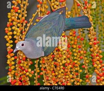 Imperial Taube Ducula Aenea Sri Lanka grün - Stockfoto