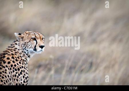 Gepard, Acinonyx Jubatus, auf der Suche nach Beute, Masai Mara National Reserve, Kenia, Afrika