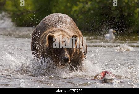Braunbär, stürzt sich Ursus Arctos auf Fisch - Stockfoto