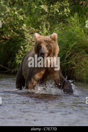 Brown Bear Cub, Ursus Arctos stare - Stockfoto