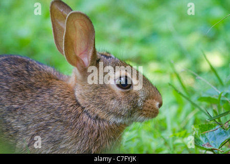 Östlichen Cottontail Kaninchen (Sylvilagus Floridanus). - Stockfoto