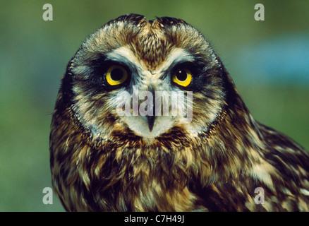 KURZE EARED OWL (ASIO FLAMMEUS) - Stockfoto