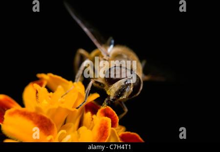 Ein Hoverfly (Eristalis Tenax) thront auf einer Blume, extreme Nahaufnahme - Stockfoto