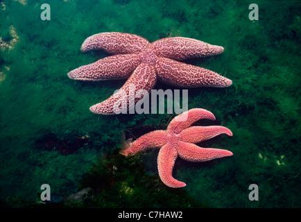 Northern Sea Stars (Asterias Vulgaris) von Algen bei Ebbe. Gloucester, Massachusetts, USA. Nordatlantik - Stockfoto