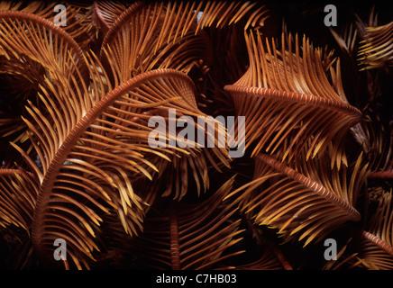 Gemeinsamen Crinoid oder Feather Star (Lamprometra Klunzingeri) ernährt sich von Plankton in der Nacht. Ägypten, - Stockfoto