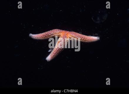Nördlichen Seestern (Asterias Vulgaris) von Algen. Gloucester, Massachusetts, USA - Nordatlantik - Stockfoto