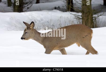 Rehe im Schnee (Capreolus Capreolus) - Stockfoto