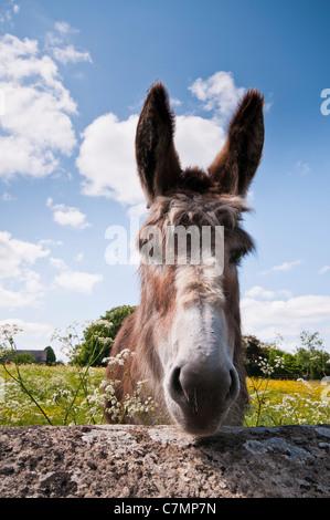 Nahaufnahme von einem Esel Gesicht, Gloucestershire, Cotswolds, UK - Stockfoto