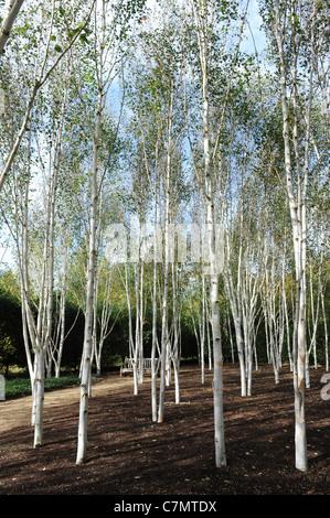 Weiße Birkenbäume im Garten des Himalaya Birke Uk - Stockfoto