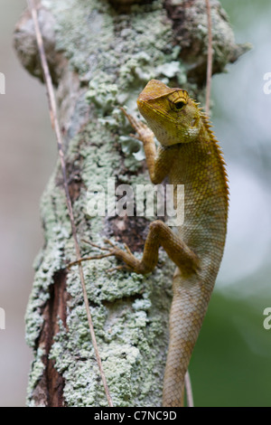 Die Oriental Garden Lizard, östlichen Garten Eidechse oder veränderbar Eidechse (Calotes versicolor) ich - Stockfoto
