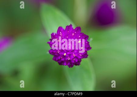 """Gomphrena Globosa.  Globe Amaranth oder Schaltfläche """"Bachelor"""" Blume in Indien - Stockfoto"""
