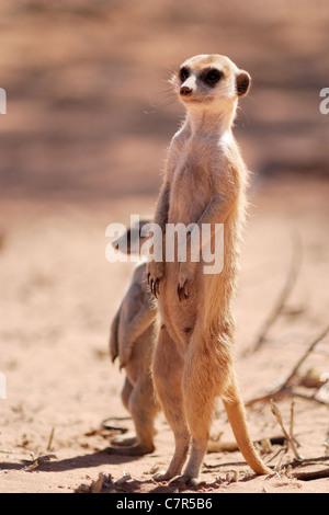 Erdmännchen (Suricata Suricatta), Kgalagaid Transfrontier Park, Südafrika - Stockfoto