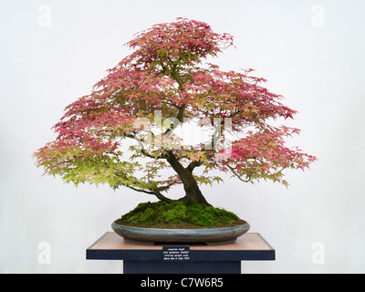 bonsai zwerg ahorn acer palmatum kashima stockfoto bild. Black Bedroom Furniture Sets. Home Design Ideas