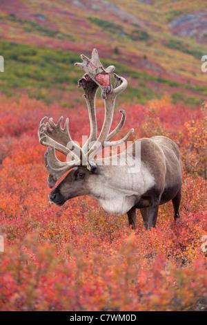 Bull Caribou, Denali-Nationalpark, Alaska. - Stockfoto