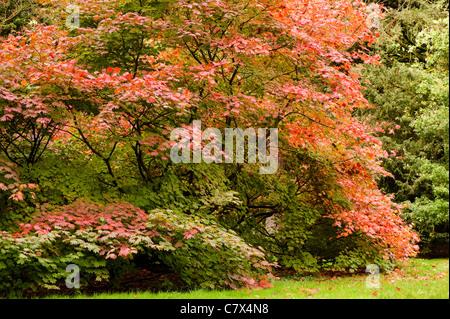 Acer Japonicum 'Vitifolium', Rebe-leaved Vollmond Ahorn im Frühherbst - Stockfoto
