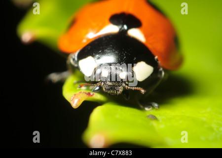 Sieben-Punkt-Marienkäfer (Coccinella 7-Trommler) - Stockfoto