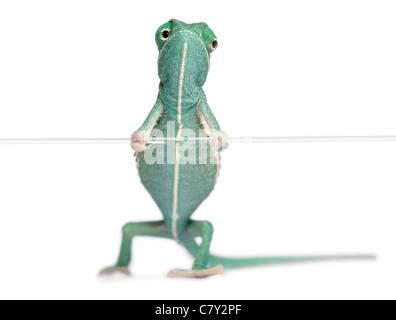 Junge Jemenchamäleon Chamaeleo Calyptratus, hält eine Zeichenfolge vor weißem Hintergrund - Stockfoto