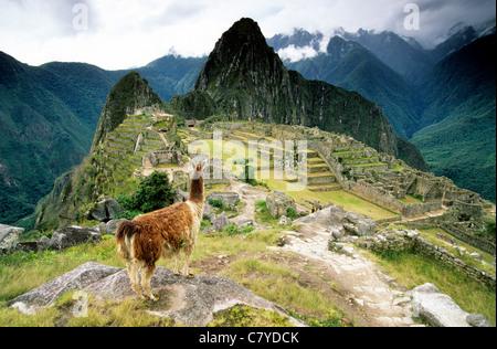 Peru, Machu Picchu und Lama - Stockfoto
