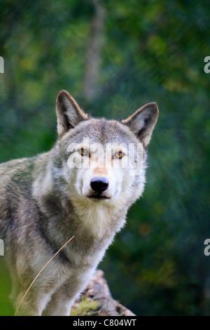 Grauer Wolf (Canis Lupus) Porträt starrte (Gefangenschaft) - Stockfoto