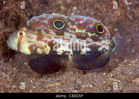 Krabben-eyed Grundel zeigt seine bunten Flossen, Papua-Neu-Guinea. - Stockfoto
