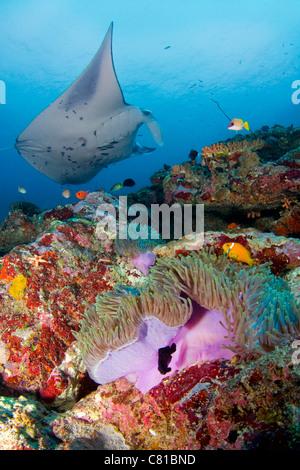 Manta-Rochen auf den Malediven, Unterwasser, Meerestiere, Korallenriff, tropischen Riff, Anemone, Anemonenfisch, - Stockfoto