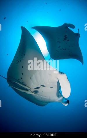 Manta-Rochen in Malediven, Unterwasser, Hanifaru, Plankton, Fütterung Meeresleben, blaues Wasser, klare Wasser, - Stockfoto
