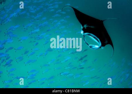 Manta-Rochen auf den Malediven, Unterwasser, Unterwasserwelt, Fischschwarm, Fisch, Hanifaru, Insel, blaues Wasser, - Stockfoto