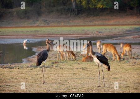 zwei junge Sattel – abgerechnet Storch (Nahrung Senegalensis), South Luangwa Nationalpark, Sambia, Afrika - Stockfoto