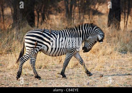Ebenen Zebra oder Burchell Zebra, Equus Quagga, South Luangwa Nationalpark, Sambia, Afrika - Stockfoto