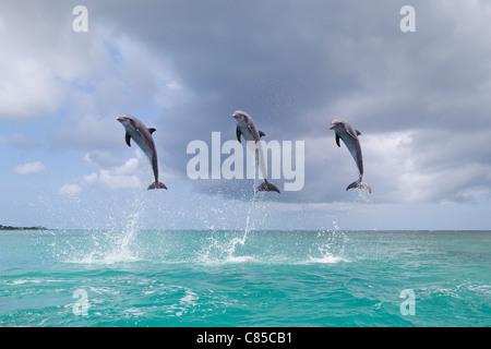 Gemeinsamen Bottlenose Delphine springen im Meer, Roatan, Bay Islands, Honduras