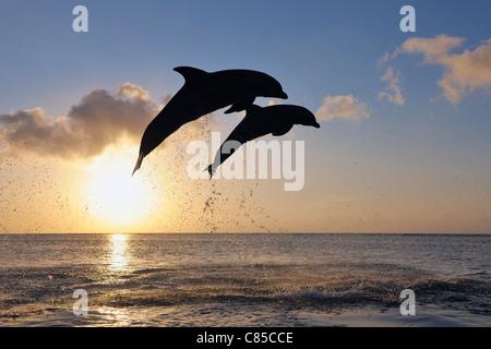Gemeinsamen Bottlenose Delphine springen im Meer bei Sonnenuntergang, Roatan, Bay Islands, Honduras