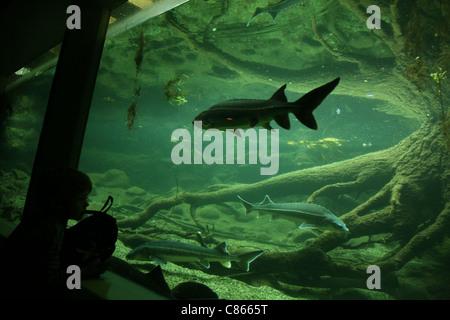Atlantischen Stör (Acipenser Sturio) und Sterlets (Acipenser Ruthenus) im Basler Zoo, Schweiz. - Stockfoto