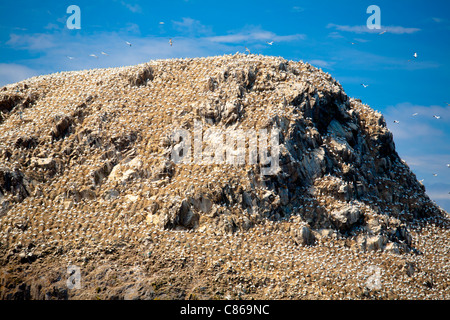 Basstölpel (Morus Bassanus) Kolonie. Sept-Iles Vogelschutzgebiet. Côtes-d ' Armor. Bretagne, Frankreich - Stockfoto