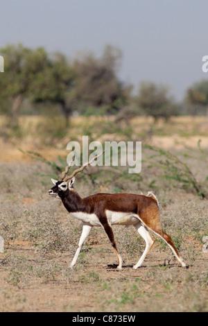 Blaue Bull Nilgai männliche Antilope, Boselaphus Tragocamelus, in der Nähe von Rohet in Rajasthan, Nordindien - Stockfoto