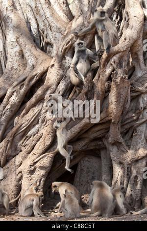 Indische Languren Affen, Presbytis Entellus, im Banyan Tree in Ranthambhore National Park, Rajasthan, Nordindien - Stockfoto