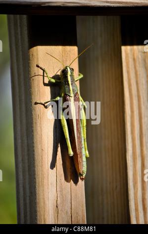 Obskure Vogel Grasshopper (Schistocerca Obscura) - große Heuschrecke auf Holz Geländer