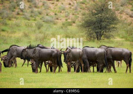 Herde von Gnus, Connochaetes Taurinus, Kgalagadi Transfrontier Park, Südafrika, Afrika - Stockfoto