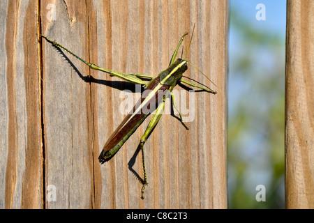 Obskure Vogel Grasshopper (Schistocerca Obscura)