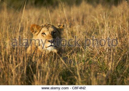 Ein junger männlicher Löwe Panthera Leo in der östlichen Maasai Mara in Kenia. - Stockfoto