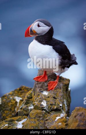 Papageitaucher (Fratercula Arctica) bei Latrabjarg, größte Vogel-Kolonie Europas Westfjorde (Vestfirðir, Island, - Stockfoto