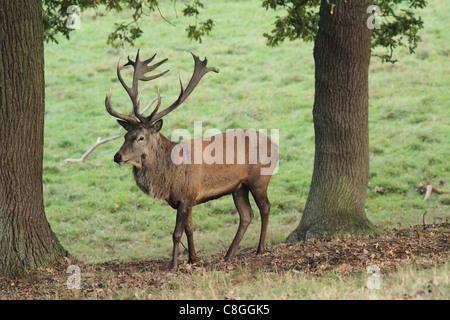 Damhirsch Hirsch auf grünem Hintergrund - Stockfoto
