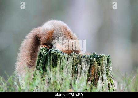 Baum, Baumstumpf, Cairngorms, Nationalpark, Eichhörnchen, Speisen, Essen, eurasische Eichhörnchen, europäischen - Stockfoto