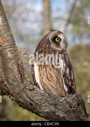 Kurze Eared Owl thront auf einem Baumstamm an einem Herbsttag. - Stockfoto