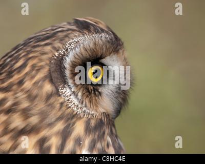Nahaufnahme von einem Begeisterungsrufe schöne Eulenkopf. Er sucht auf der rechten Seite. - Stockfoto