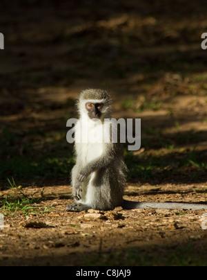 Vervet Affen in Südafrika im Lichtkegel - Stockfoto