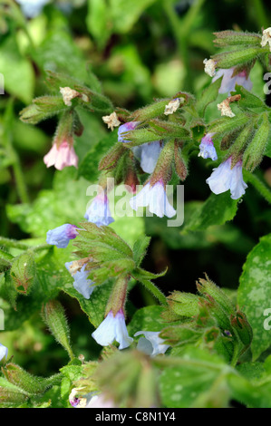 blaue blumen von pulmonaria lungenkraut stockfoto bild 168975451 alamy. Black Bedroom Furniture Sets. Home Design Ideas