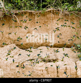 Papageien auf einem Ton lecken Tambopata National Reserve Puerto Maldonado Amazonasgebiet Peru - Stockfoto