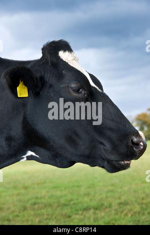 Erstklassige UK Molkerei Vieh - Stockfoto